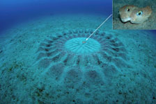 Puffer fish nest and spawning pair by Yoji Okata